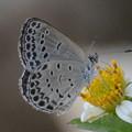 写真: ヤマトシジミ南西諸島亜種