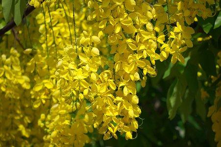 2012.03.10 ホーチミン市 黄色い花