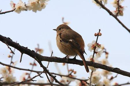 2012.03.22 和泉川 梅にまんまるジョウビタキ