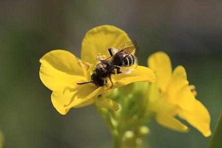 2012.04.04 和泉川 菜の花にミツバチ