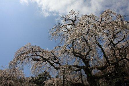 2012.04.12 入生田 長興山 しだれ桜