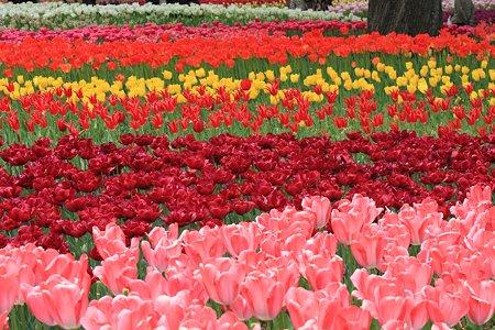 2012.04.19 横浜公園 チューリップ 波
