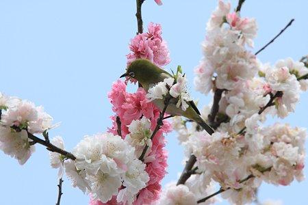 2012.04.21 和泉川 モモにメジロ 紅白