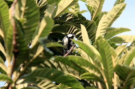 2011.07.13 和泉川 ビワの木にシジュウカラ