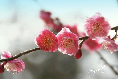 梅 pink..2