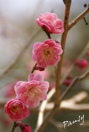 梅 pink..3