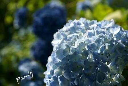 青。淡く濃く・・水無月の明月院・・4