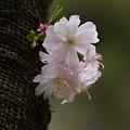 Photos: こじんまりと咲く桜!