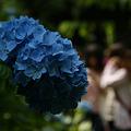 Photos: 姫紫陽花のブルー!(110612)