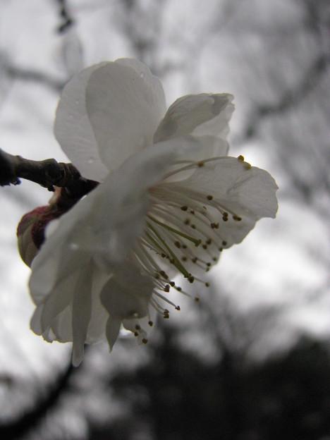 写真: 白牡丹