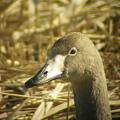 Photos: オオハクチョウ(幼鳥)