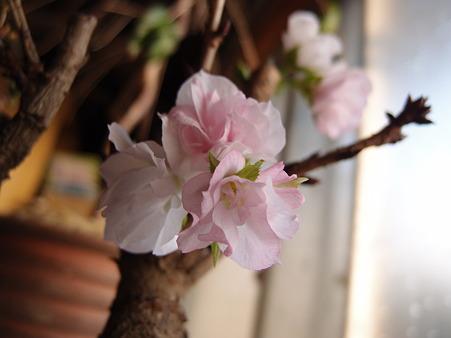 桜が満開になりかけって・・・