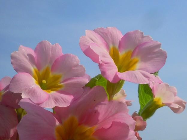 ポリアン咲いて大安吉日・春分の日