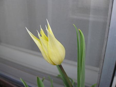 百合咲きチューリップ「サッポロ」