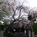 白山神社(文京区)4