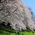 カメラマン桜に挑む