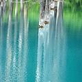 夏美瑛 青い池