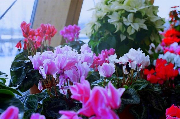 シクラメン 花育・食育センター