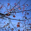 桜の紅葉(*'-'*)