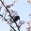 お花見 ヒヨドリちゃん(2)
