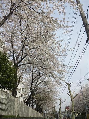今年の桜その1