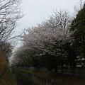 Photos: 今年の桜その2