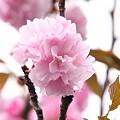 Photos: 八重桜04