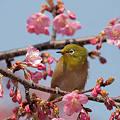 3枚の桜 河津桜