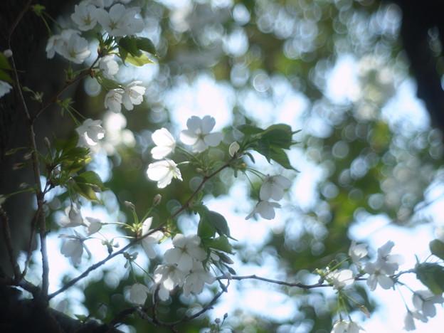 桜_jupiter_01