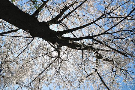 下北山村の桜・7
