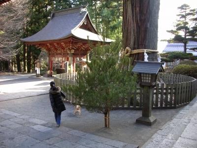 凄い杉の木
