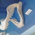 写真: サメは歯が取れても次が用意されてるから良いなあ、と思う虫歯持ち…
