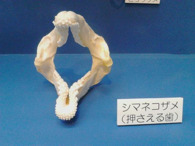 写真: ネコザメの歯はこうなのか~。