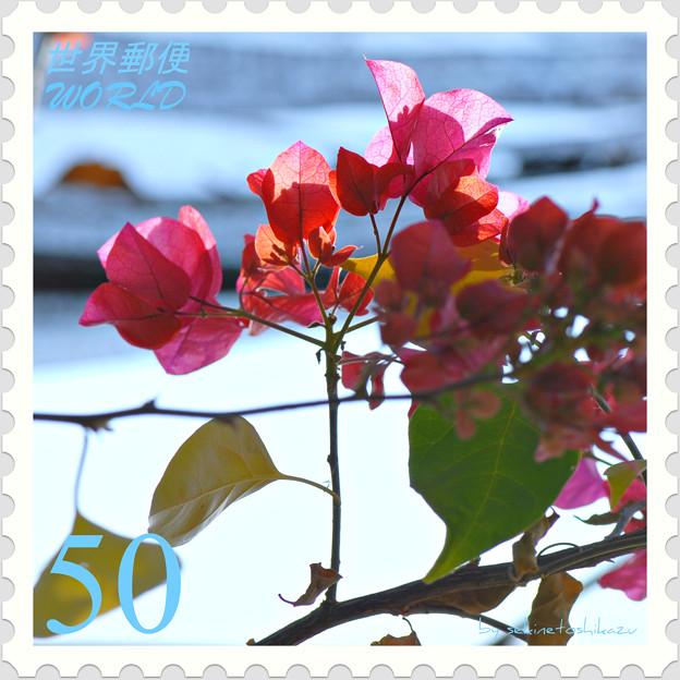 <花切手*温室のブーゲンビリア>