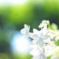 2010年 向島百花園の紫陽花