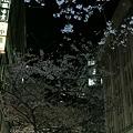 ビルとビルの間の桜天井!